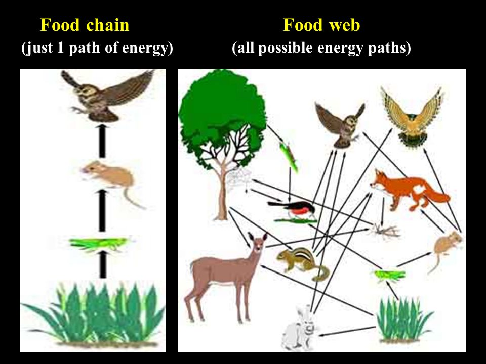 Food chain Food web (just 1 path of energy) (all possible energy paths)