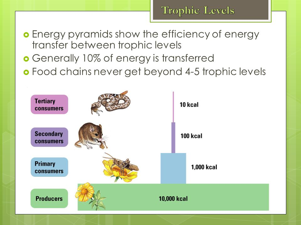  Energy pyramids show the efficiency of energy transfer between trophic levels  Generally 10% of energy is transferred  Food chains never get beyond 4-5 trophic levels