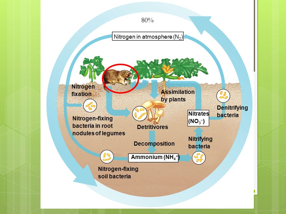 Nitrogen in atmosphere (N 2 ) Nitrogen fixation Detritivores Decomposition Assimilation by plants Denitrifying bacteria Nitrates (NO 3 – ) Nitrifying bacteria Nitrogen-fixing bacteria in root nodules of legumes Nitrogen-fixing soil bacteria Ammonium (NH 4  ) 80%