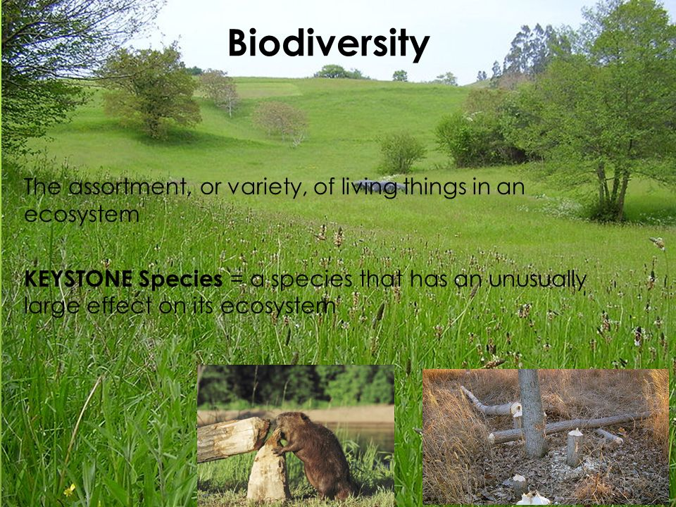 Biodiversity The assortment, or variety, of living things in an ecosystem KEYSTONE Species = a species that has an unusually large effect on its ecosystem