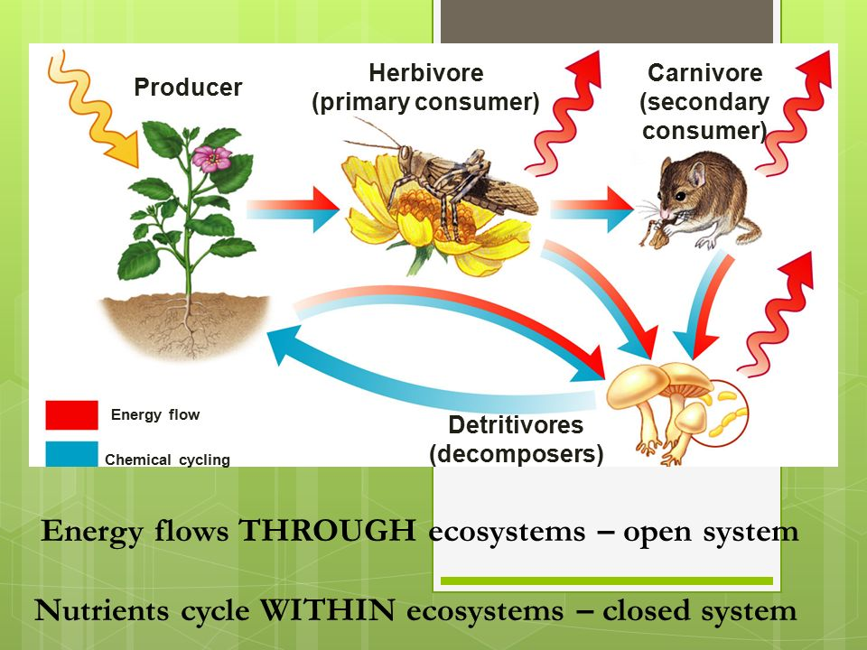 Producer Herbivore (primary consumer) Detritivores (decomposers) Carnivore (secondary consumer) Energy flow Energy flows THROUGH ecosystems – open system Chemical cycling Nutrients cycle WITHIN ecosystems – closed system