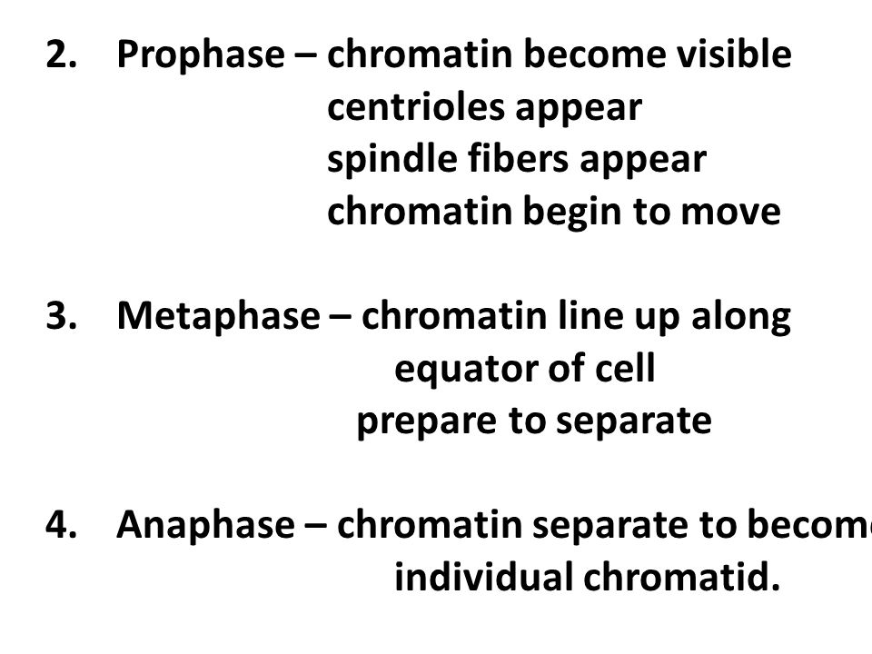2.Prophase – chromatin become visible centrioles appear spindle fibers appear chromatin begin to move 3.Metaphase – chromatin line up along equator of cell prepare to separate 4.Anaphase – chromatin separate to become individual chromatid.
