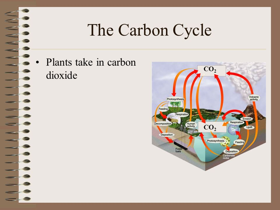 The Carbon Cycle Plants take in carbon dioxide CO 2