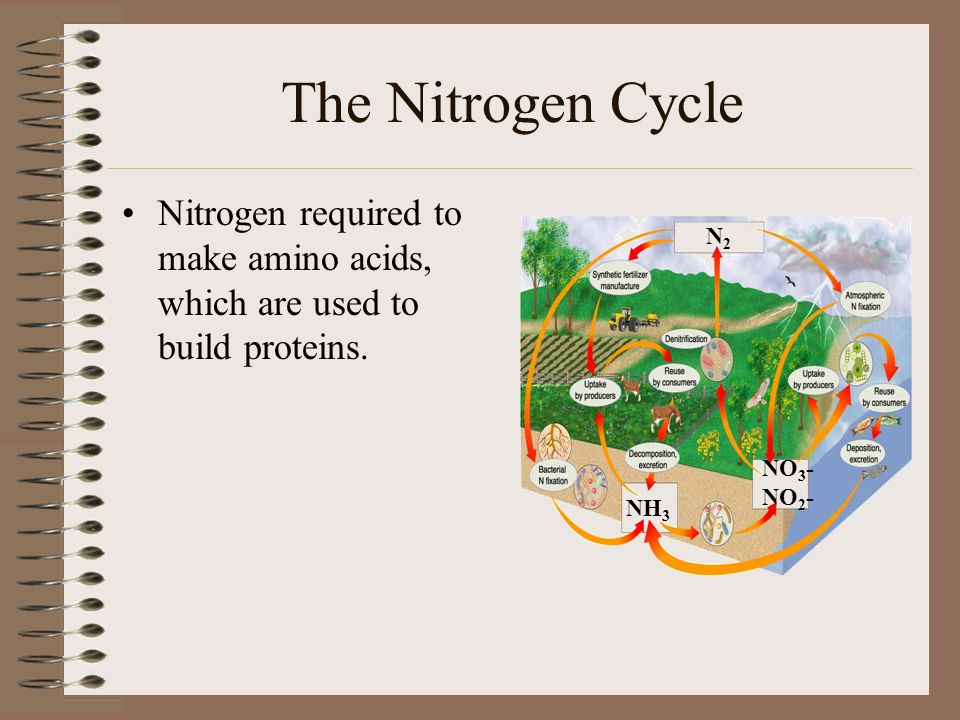 The Nitrogen Cycle Nitrogen required to make amino acids, which are used to build proteins.