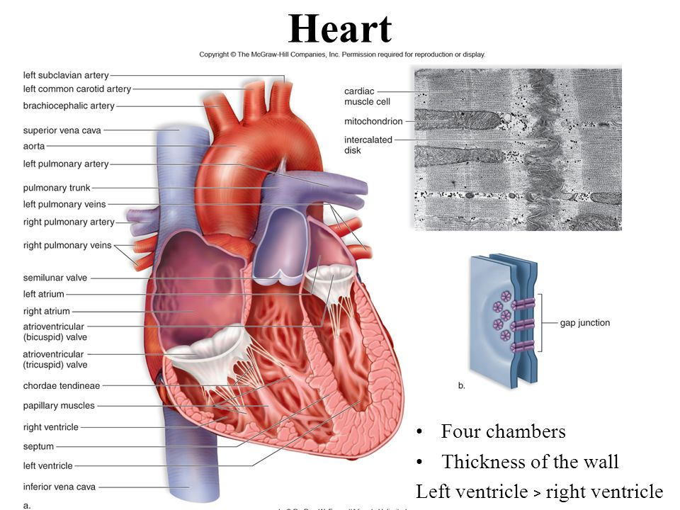 Cardiovascular System All Vertebrate Animals Have A Closed