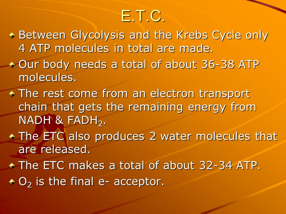 E.T.C. Between Glycolysis and the Krebs Cycle only 4 ATP molecules in total are made.