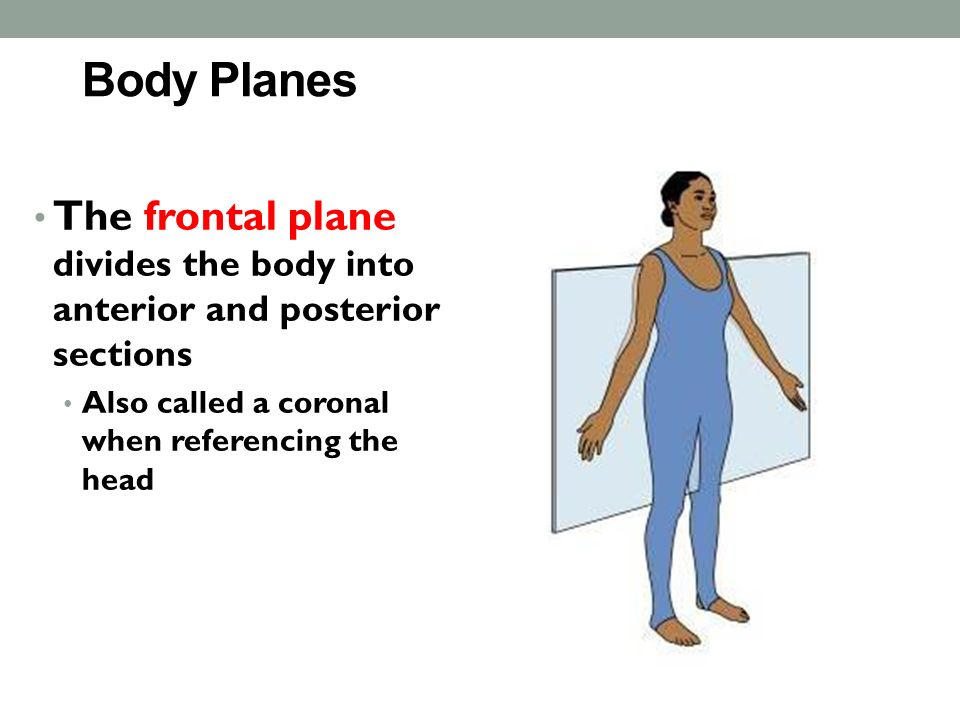 Body Planes The frontal plane divides the body into anterior and posterior sections Also called a coronal when referencing the head