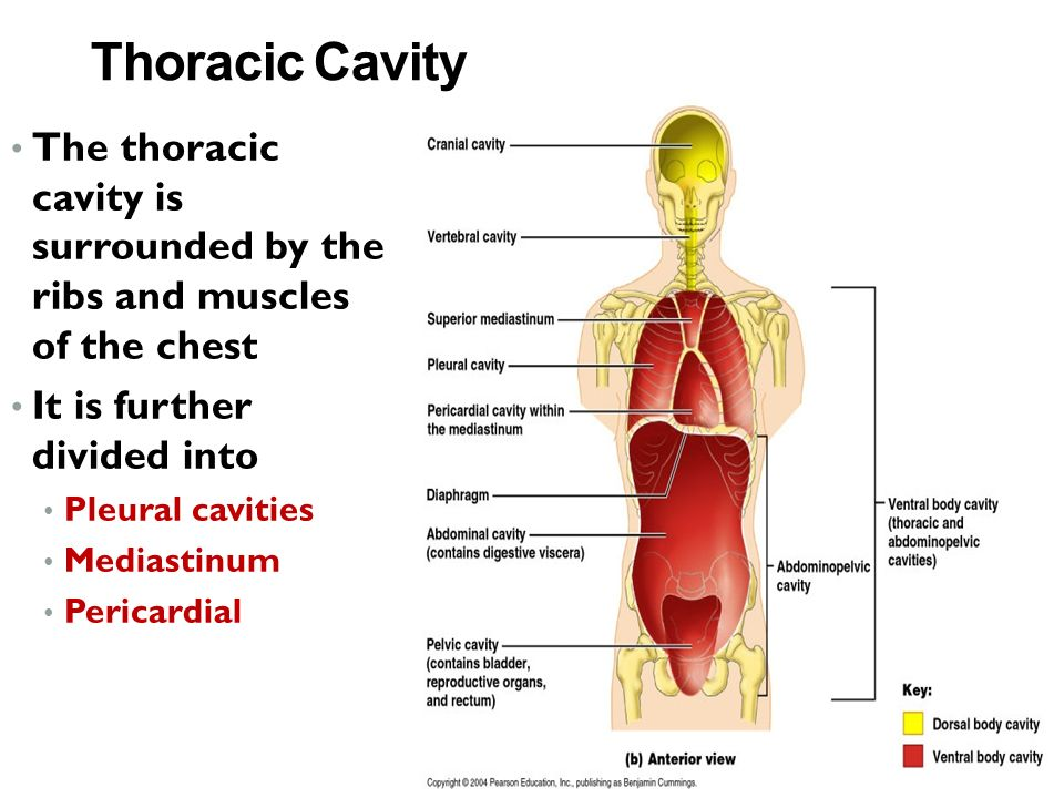 Thoracic Cavity The thoracic cavity is surrounded by the ribs and muscles of the chest It is further divided into Pleural cavities Mediastinum Pericardial