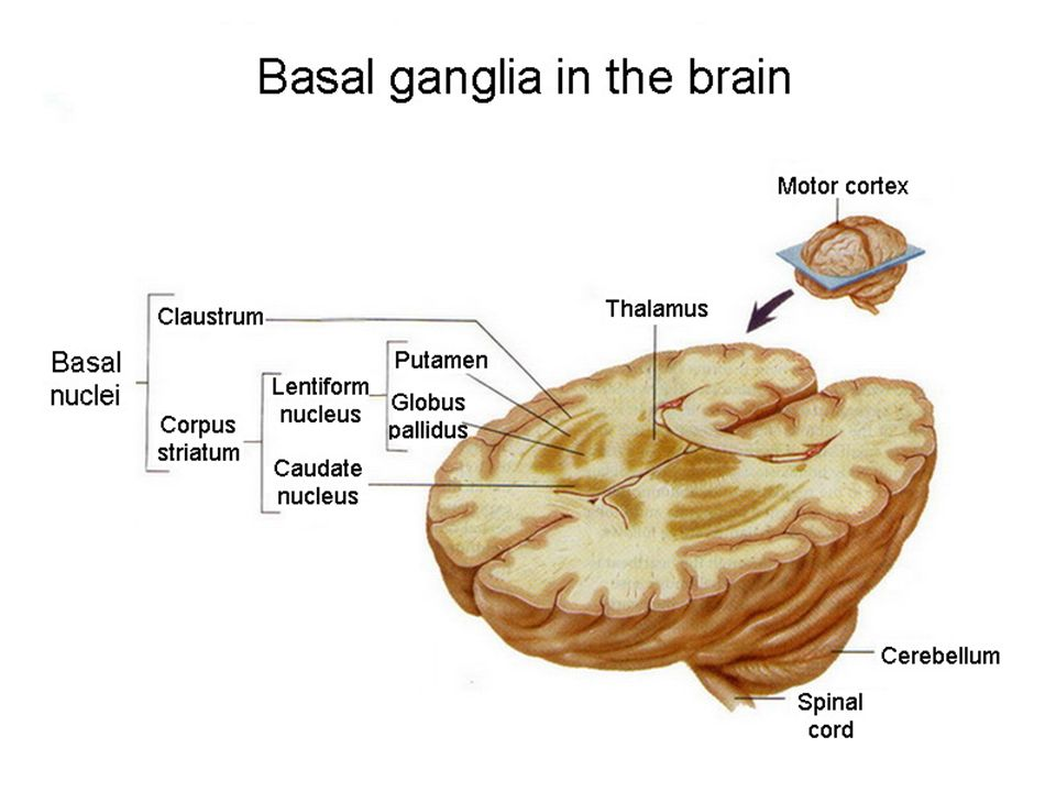 Physiology of big hemispheres. FUNCTIONS OF THE BASAL GANGLIA These ...