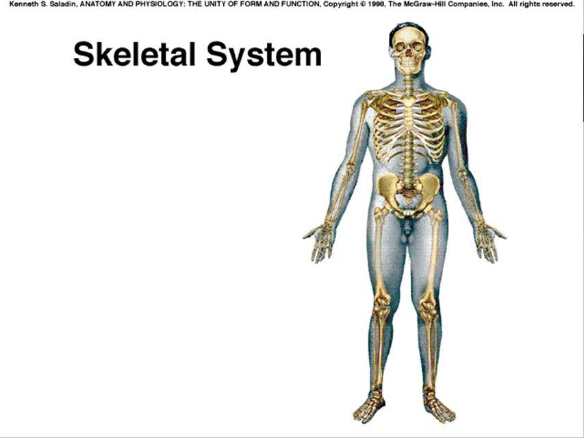 Groß Mcgraw Hill Anatomy And Physiology Saladin Fotos - Menschliche ...