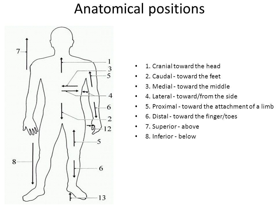 Encantador Cranial Anatomy Definition Inspiración - Imágenes de ...