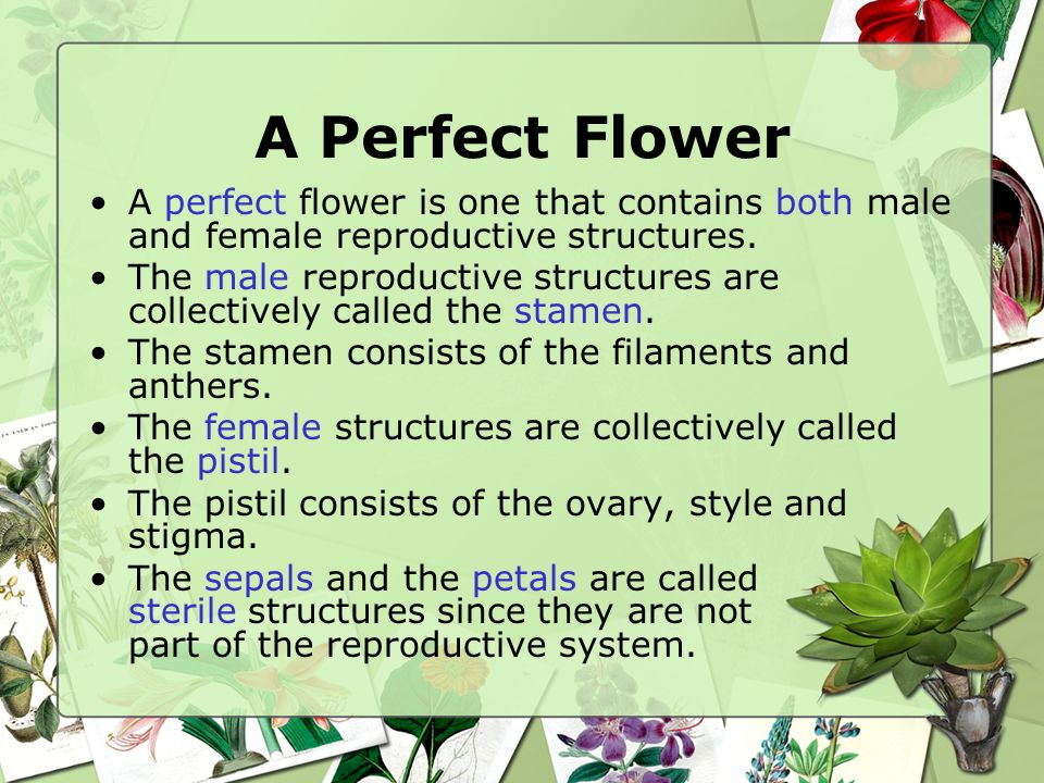 A Perfect Flower A perfect flower is one that contains both male and female reproductive structures.