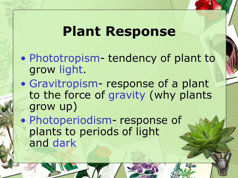 Plant Response Phototropism- tendency of plant to grow light.