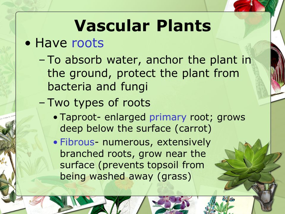 Vascular Plants Have roots –To absorb water, anchor the plant in the ground, protect the plant from bacteria and fungi –Two types of roots Taproot- enlarged primary root; grows deep below the surface (carrot) Fibrous- numerous, extensively branched roots, grow near the surface (prevents topsoil from being washed away (grass)