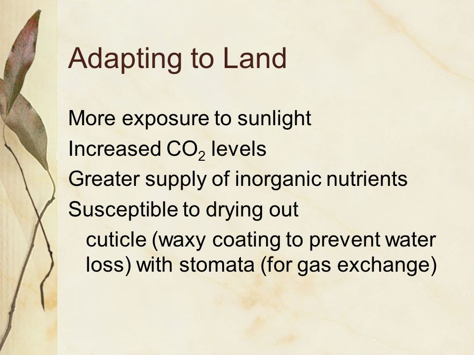 Adapting to Land More exposure to sunlight Increased CO 2 levels Greater supply of inorganic nutrients Susceptible to drying out cuticle (waxy coating to prevent water loss) with stomata (for gas exchange)