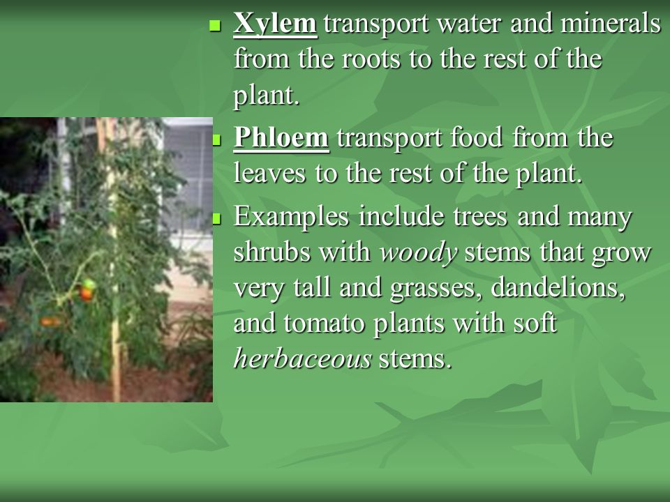 Xylem transport water and minerals from the roots to the rest of the plant.