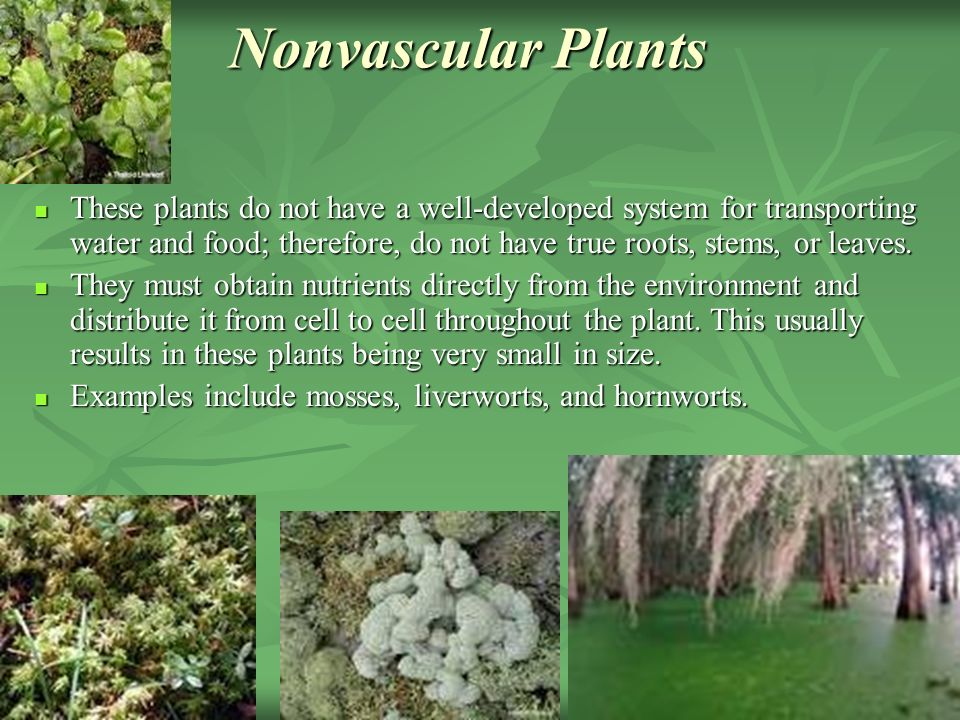 Nonvascular Plants These plants do not have a well-developed system for transporting water and food; therefore, do not have true roots, stems, or leaves.
