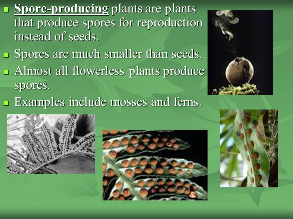Spore-producing plants are plants that produce spores for reproduction instead of seeds.