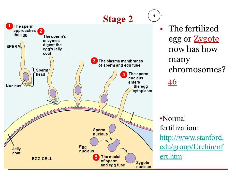 Nucleus of a sperm