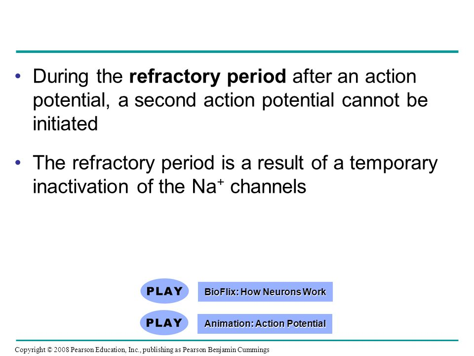 Copyright © 2008 Pearson Education, Inc., publishing as Pearson Benjamin Cummings During the refractory period after an action potential, a second action potential cannot be initiated The refractory period is a result of a temporary inactivation of the Na + channels BioFlix: How Neurons Work BioFlix: How Neurons Work Animation: Action Potential Animation: Action Potential