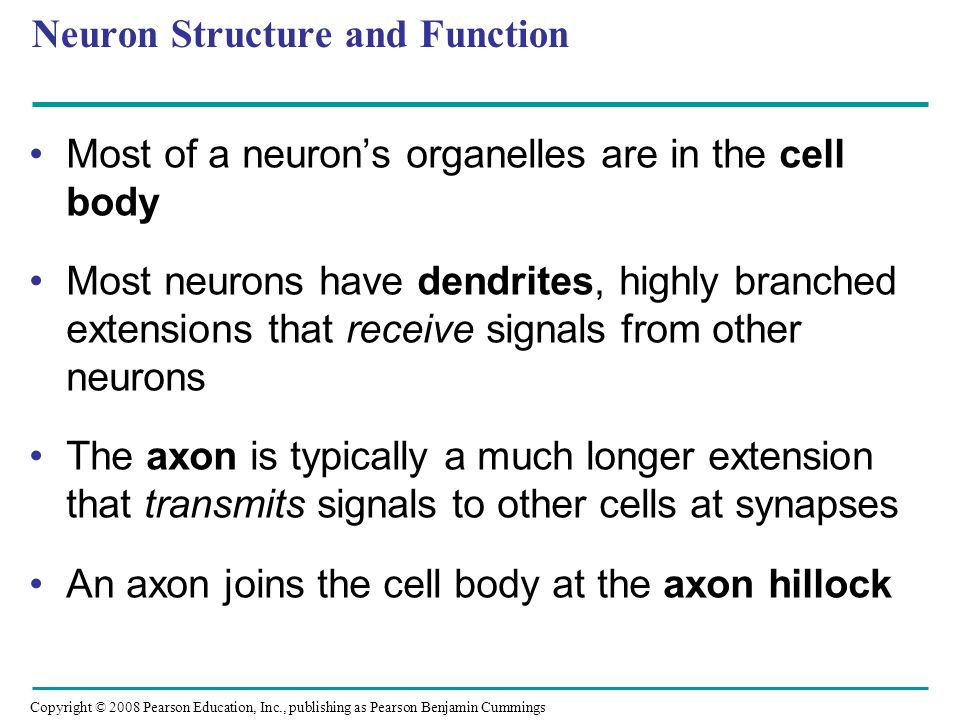 Copyright © 2008 Pearson Education, Inc., publishing as Pearson Benjamin Cummings Neuron Structure and Function Most of a neuron's organelles are in the cell body Most neurons have dendrites, highly branched extensions that receive signals from other neurons The axon is typically a much longer extension that transmits signals to other cells at synapses An axon joins the cell body at the axon hillock