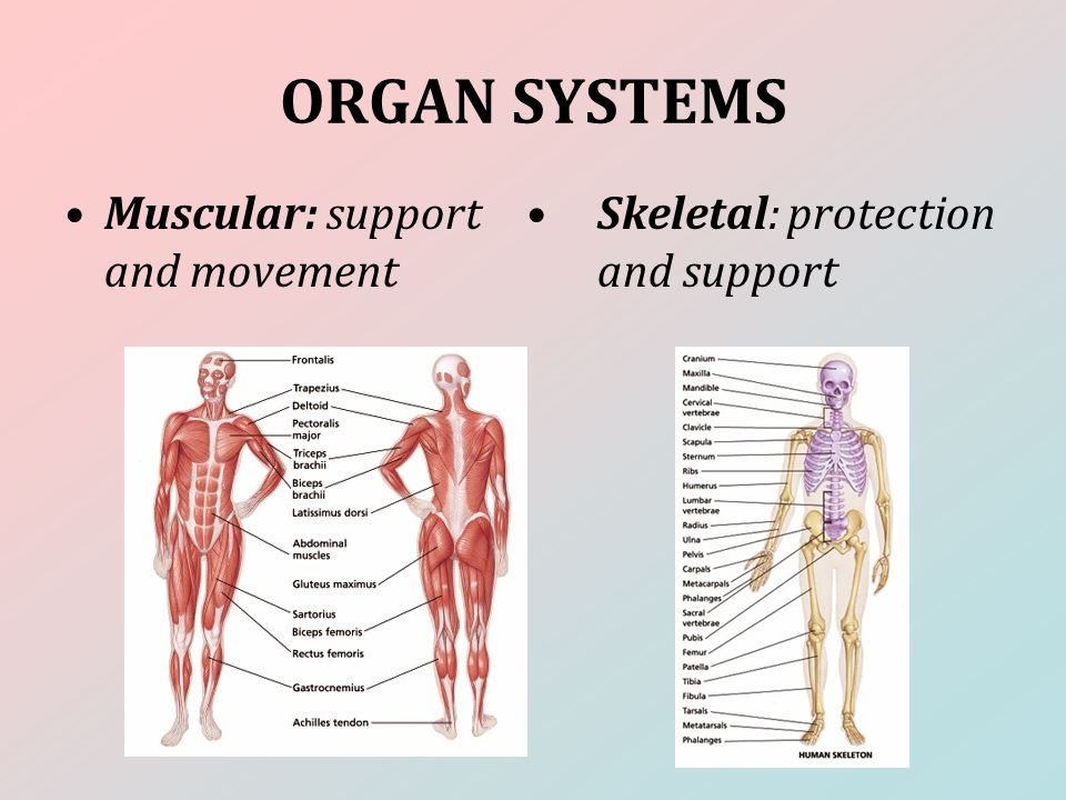 ORGAN SYSTEMS Skeletal: protection and support Muscular: support and movement