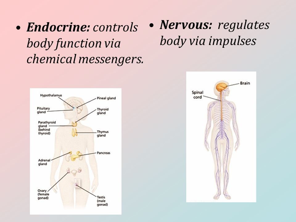 Endocrine: controls body function via chemical messengers. Nervous: regulates body via impulses