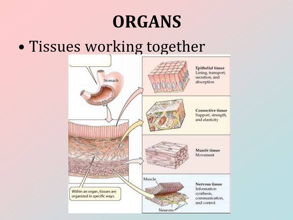 ORGANS Tissues working together