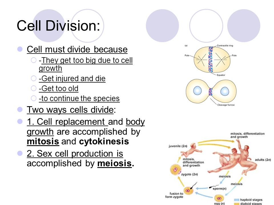 are adults dividing cells what in