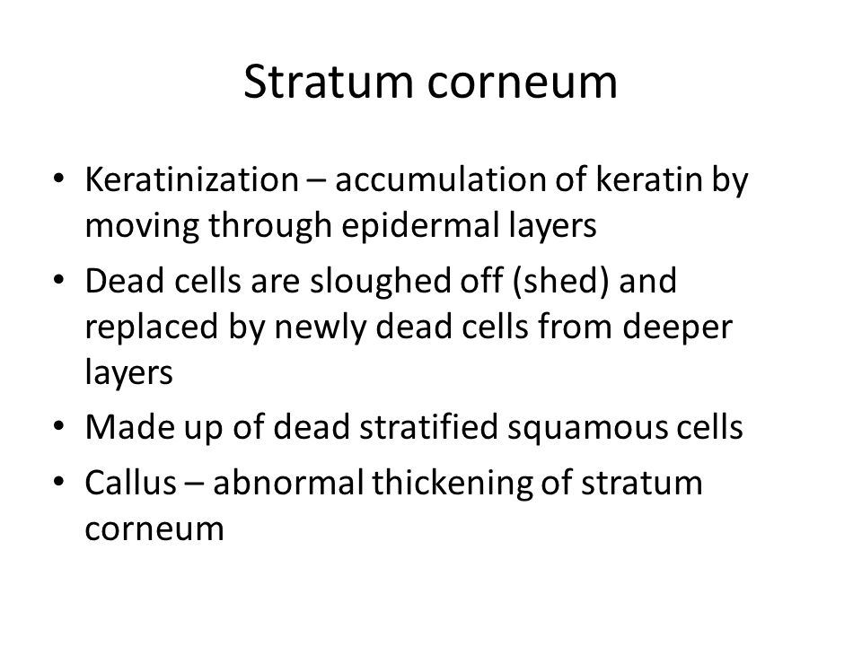 Stratum corneum Keratinization – accumulation of keratin by moving through epidermal layers Dead cells are sloughed off (shed) and replaced by newly dead cells from deeper layers Made up of dead stratified squamous cells Callus – abnormal thickening of stratum corneum