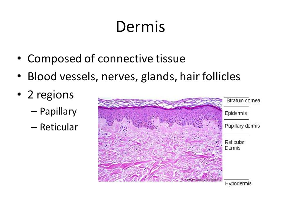 Dermis Composed of connective tissue Blood vessels, nerves, glands, hair follicles 2 regions – Papillary – Reticular