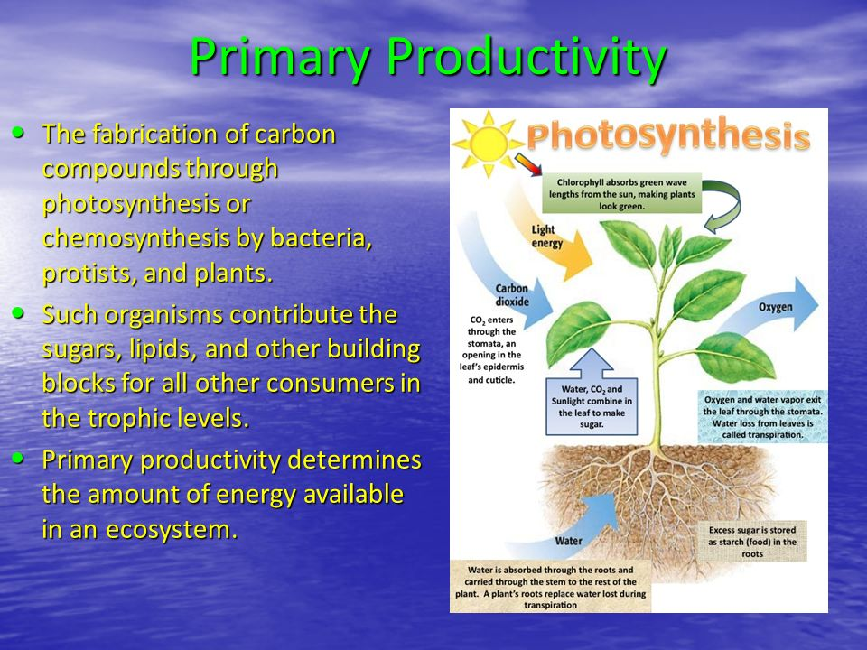 Primary Productivity The fabrication of carbon compounds through photosynthesis or chemosynthesis by bacteria, protists, and plants.