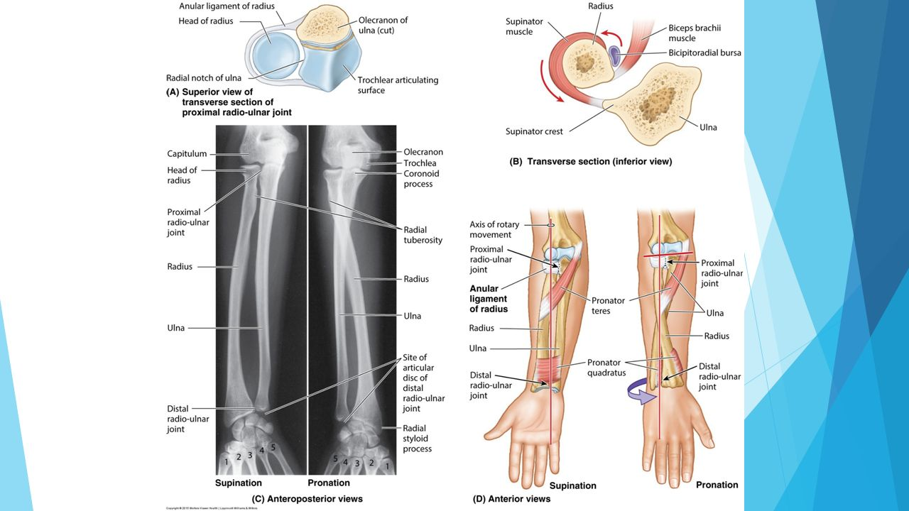 Proximal distal anatomy