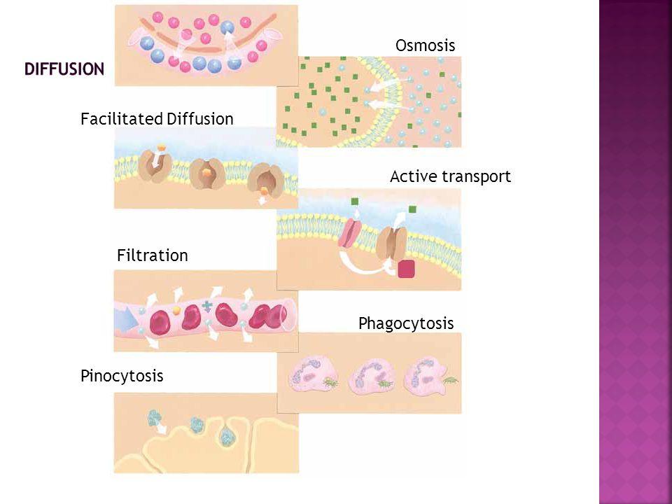 Osmosis Facilitated Diffusion Active transport Filtration Phagocytosis Pinocytosis