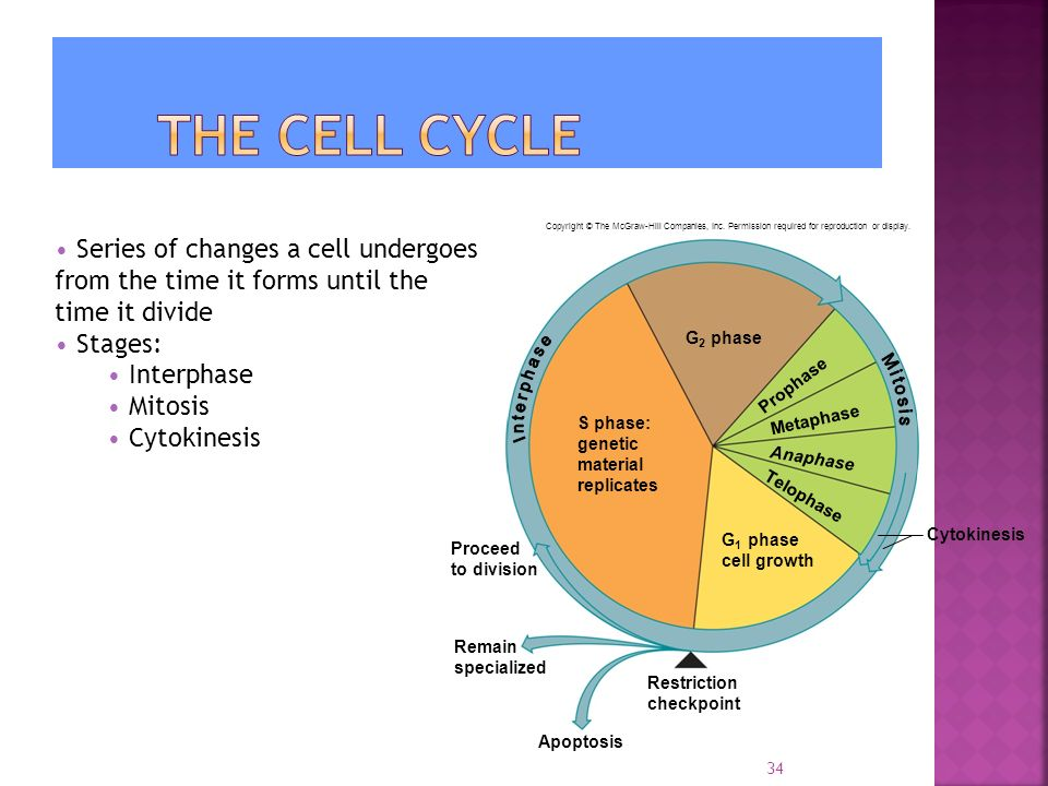 34 Series of changes a cell undergoes from the time it forms until the time it divide Stages: Interphase Mitosis Cytokinesis Apoptosis G 2 phase Prophase Metaphase Anaphase Telophase Cytokinesis Restriction checkpoint Remain specialized Proceed to division S phase: genetic material replicates G 1 phase cell growth Copyright © The McGraw-Hill Companies, Inc.