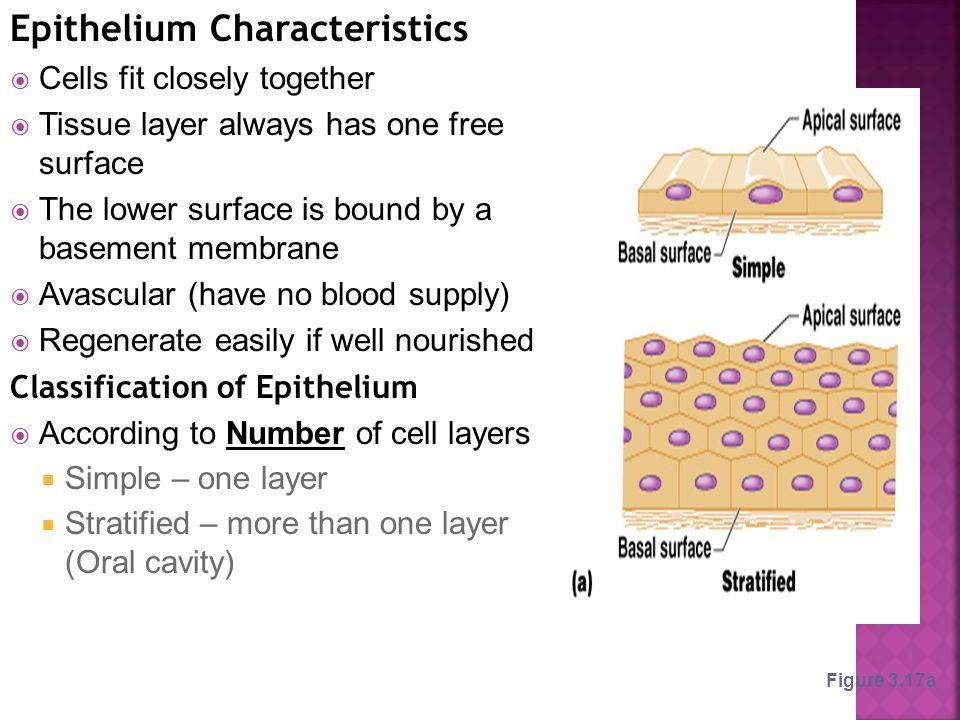 Epithelium Characteristics  Cells fit closely together  Tissue layer always has one free surface  The lower surface is bound by a basement membrane  Avascular (have no blood supply)  Regenerate easily if well nourished Classification of Epithelium  According to Number of cell layers  Simple – one layer  Stratified – more than one layer (Oral cavity) Figure 3.17a