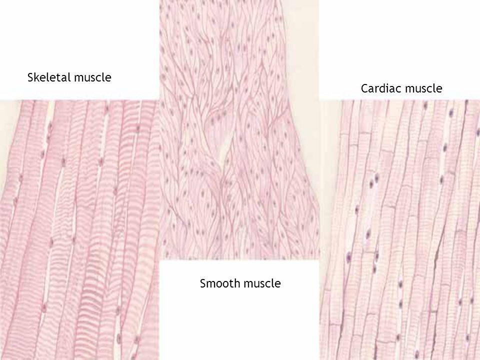 Skeletal muscle Smooth muscle Cardiac muscle