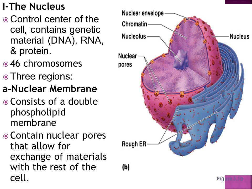 I-The Nucleus  Control center of the cell, contains genetic material (DNA), RNA, & protein.