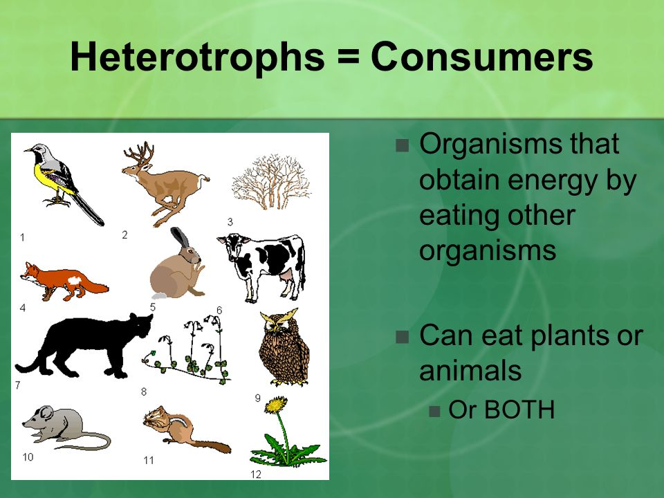 Heterotrophs = Consumers Organisms that obtain energy by eating other organisms Can eat plants or animals Or BOTH