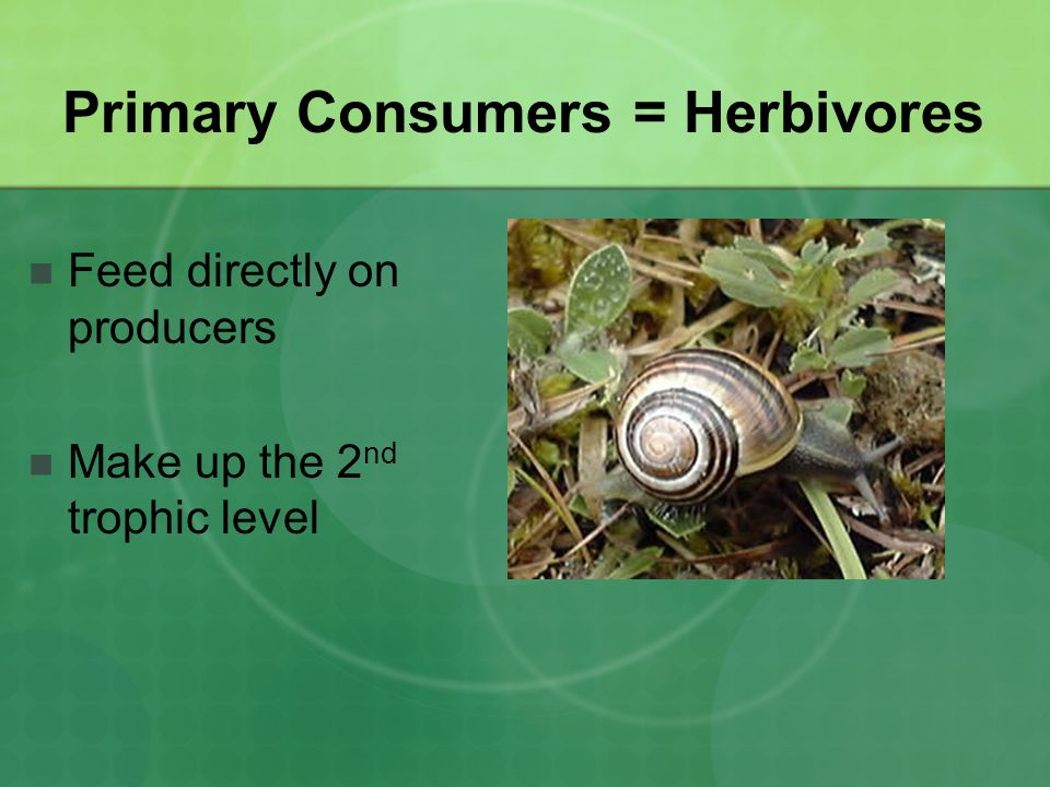 Primary Consumers = Herbivores Feed directly on producers Make up the 2 nd trophic level