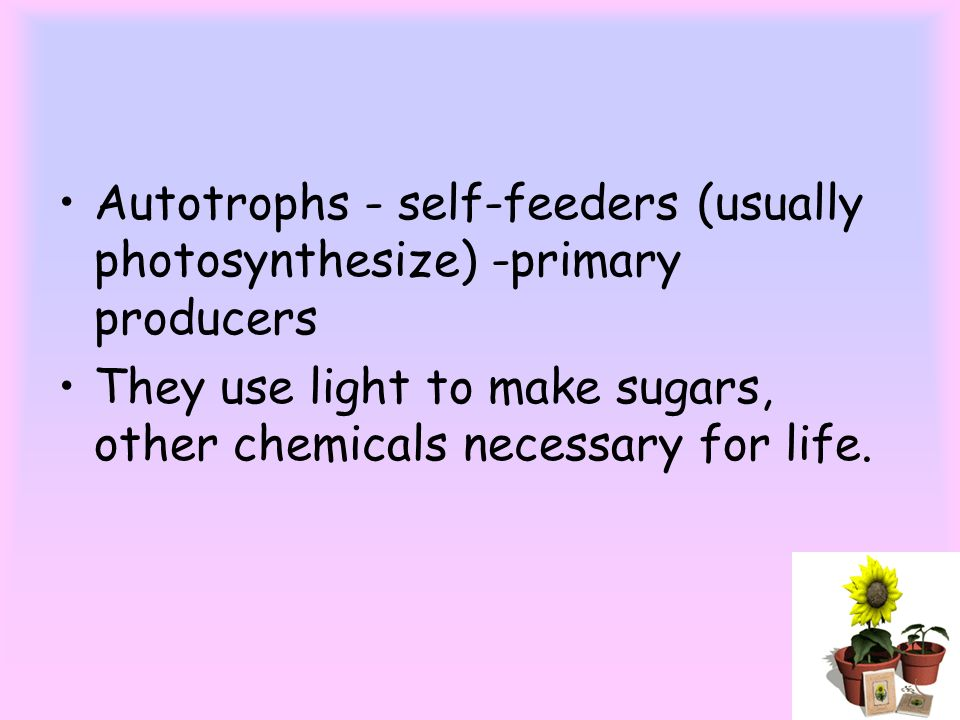 Autotrophs - self-feeders (usually photosynthesize) -primary producers They use light to make sugars, other chemicals necessary for life.