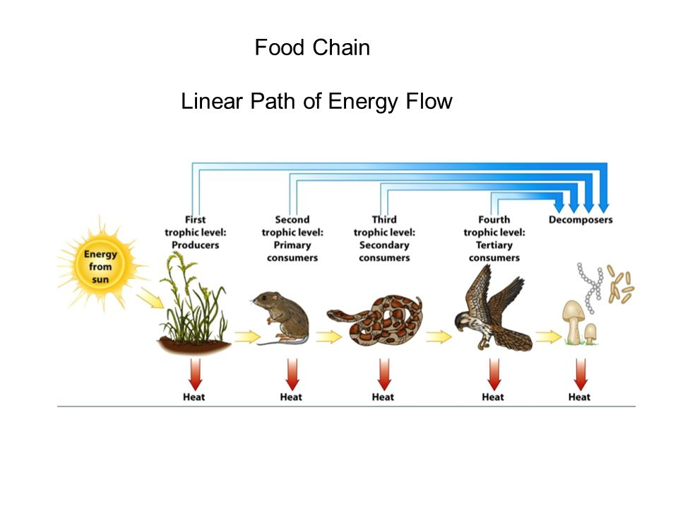 Food Chain Linear Path of Energy Flow