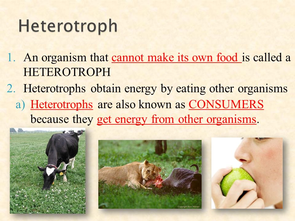 1.An organism that cannot make its own food is called a HETEROTROPH 2.Heterotrophs obtain energy by eating other organisms a)Heterotrophs are also known as CONSUMERS because they get energy from other organisms.