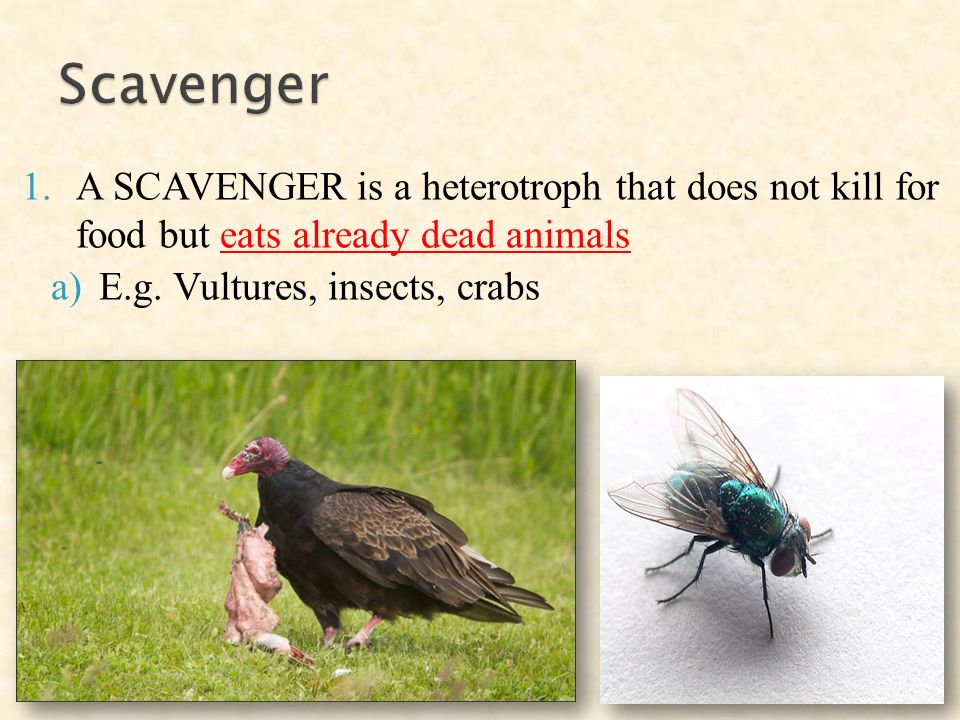 1.A SCAVENGER is a heterotroph that does not kill for food but eats already dead animals a)E.g.