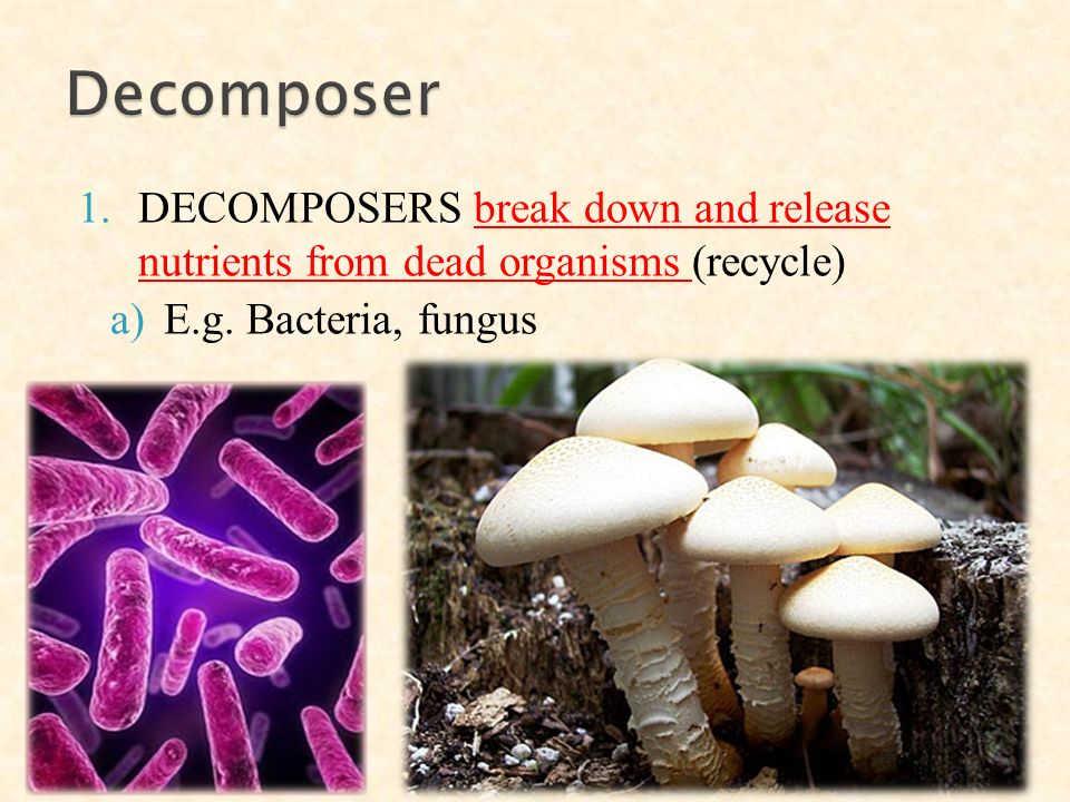 1.DECOMPOSERS break down and release nutrients from dead organisms (recycle) a)E.g.