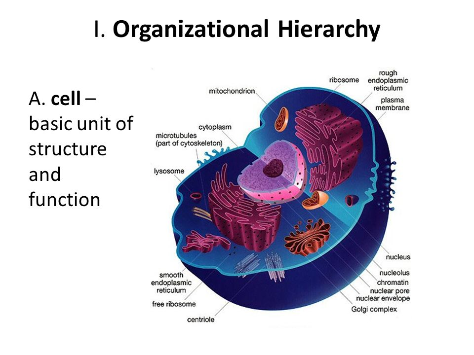I. Organizational Hierarchy A. cell – basic unit of structure and function