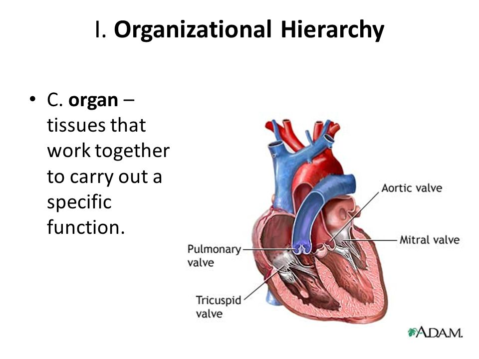 I. Organizational Hierarchy C. organ – tissues that work together to carry out a specific function.