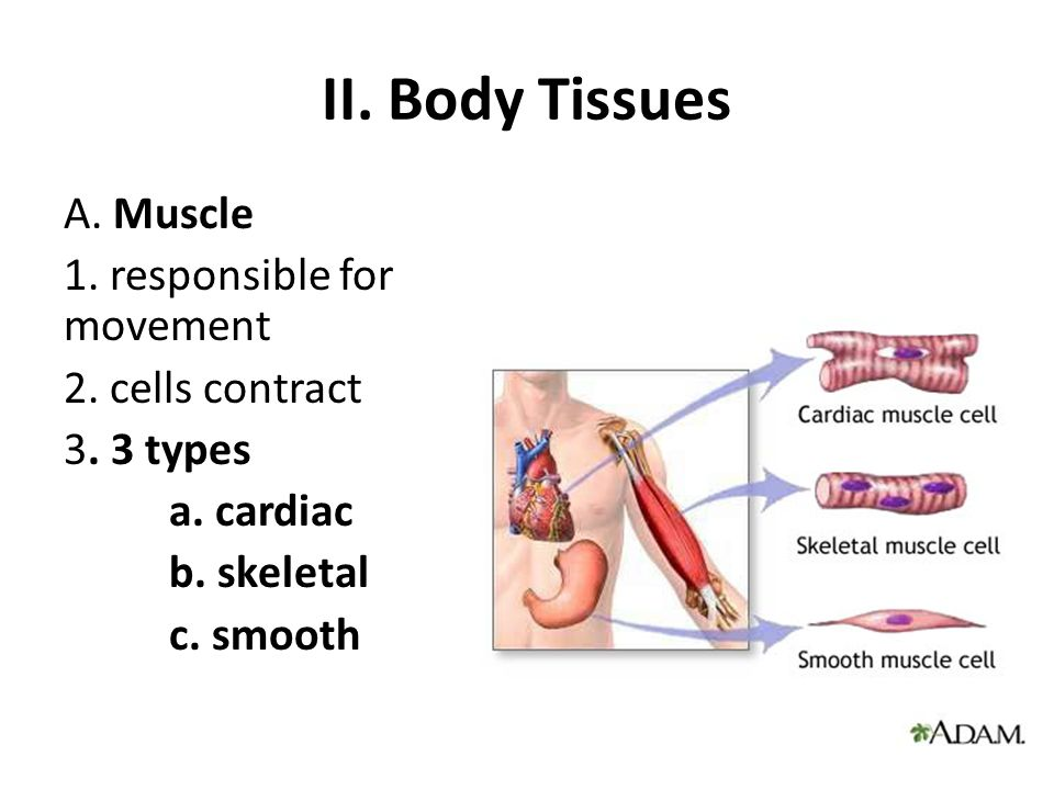 II. Body Tissues A. Muscle 1. responsible for movement 2.