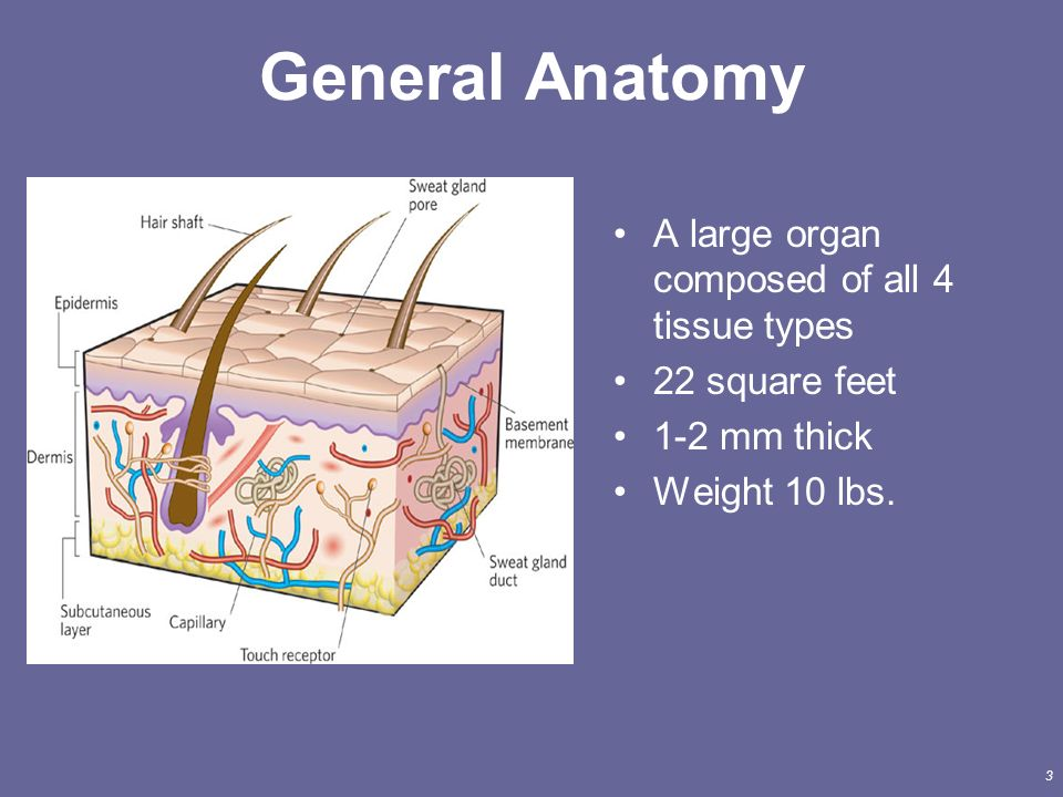 Gemütlich Anatomy And Physiology Integumentary System Worksheet ...