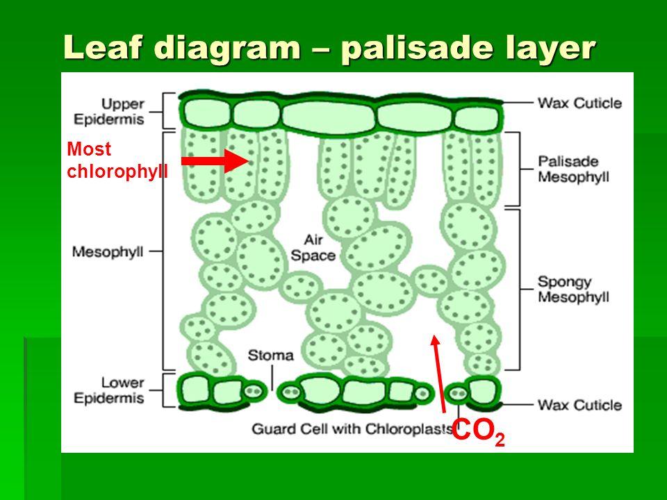 plants with seeds structure leaves stem stem roots roots ppt rh slideplayer com plant leaf diagram worksheet plant leaf cell diagram